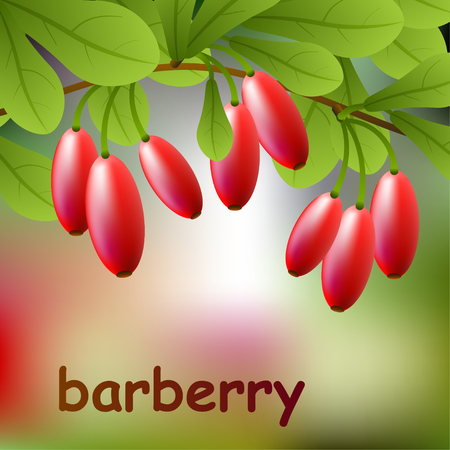 herbology: Red, juicy barberry on a branch for your design. Vector illustration