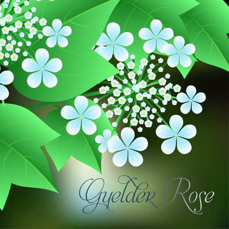 guelder rose: Flowering viburnum with green leaves in the background. Vector illustration