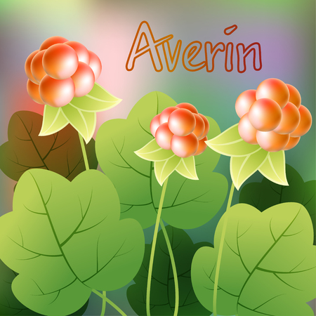 chicouté: Chicouté, chamaemorus de rubus ou bakeapple knoutberry ronce, averin. Vector illustration