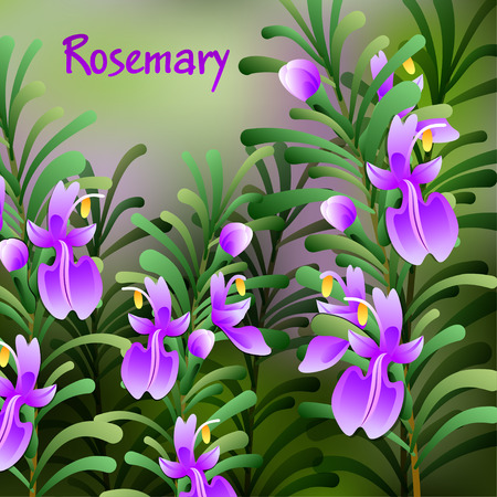 herb garden: rosemary background. Useful green herbs. delicious seasoning. tasty flavoring for food. Vector illustration Illustration