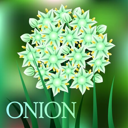 allium: Beautiful spring flowers Onion. Cards or your design with space for text. Vector illustration Illustration