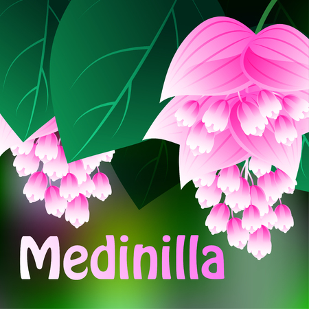 suspend: Beautiful spring flowers Medinilla. Cards or your design with space for text. Vector illustration Illustration