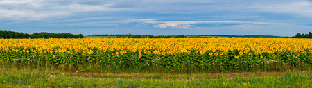 Panoramic photo of a large field with sunflowers. Against the backdrop of the sky they look like a lot of suns dazzling their yellow light