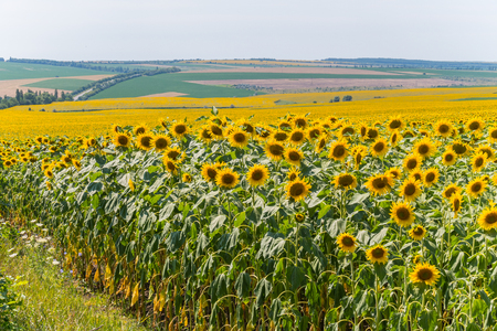 Field of bright yellow sunflowers. They will produce a good crop of seeds