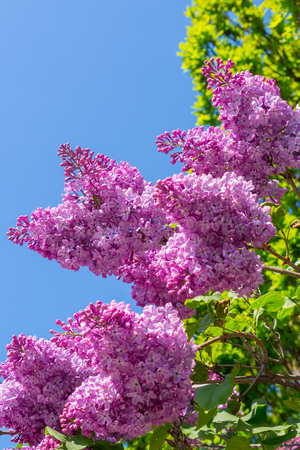 lush and incredibly fragrant lilacs against the background of green leaves and blue sky
