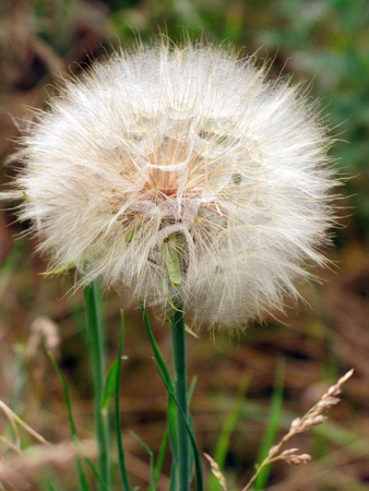 A large, white dandelion. Soon it will turn into a bright yellow kul'bab
