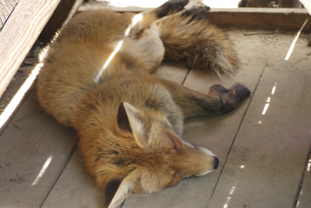 Beautiful orange fox tired sleeps on the wooden floor of the zoo enclosure