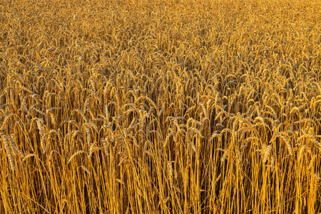 The golden wheat field. In the future, these ears become a delicious bread Stockfoto