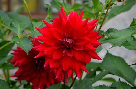 chic flower with red multilayer petals on a thin stem with green leaves 写真素材