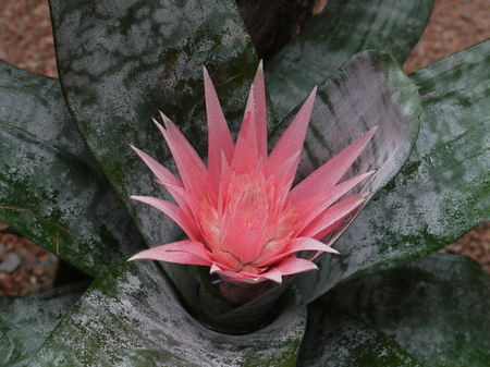 Exotic pink emmae opened its flower on the background of colorful leaves Stock Photo