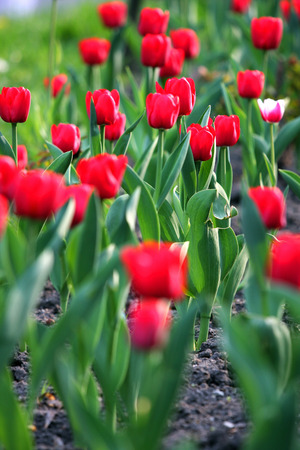 A huge garden with beautiful lush red tulips on a high massive green leg Banque d'images
