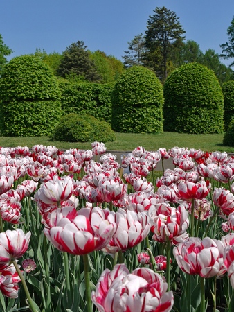 rugged flower bed of white tulips with red stripes in the park on the background of decorative trimmed trees