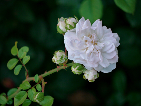 A magnificent white rose flower surrounded by small buds that have not yet bloomed. Waiting for my time to blossom. Stock Photo