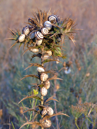 A huge number of snails gathered on a high flower stalk with prickly petals and leaves Banque d'images - 104204043