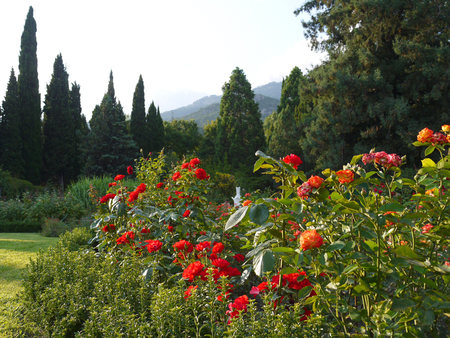 beautiful rose bushes on the background of cypresses and mountains