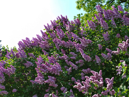 Vertical torches of inflorescences of purple lilacs are directed to the sky on high green bushes