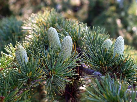Grünfichtenzweige mit entzückenden schelmischen Nadeln und frischen jungen Zapfen
