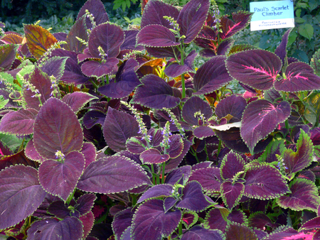 Several bushes of bright purple basil. A fine spice to dishes from meat