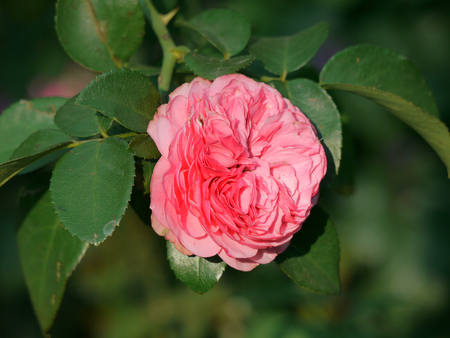 The pale pink color of a full rose on the background of green leaves radiates tenderness Banco de Imagens