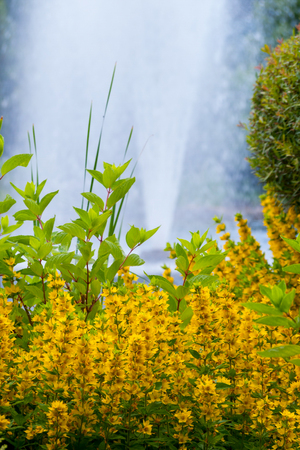 Beautiful decorative yellow flowers with green leaves against the background of a beating up fountain