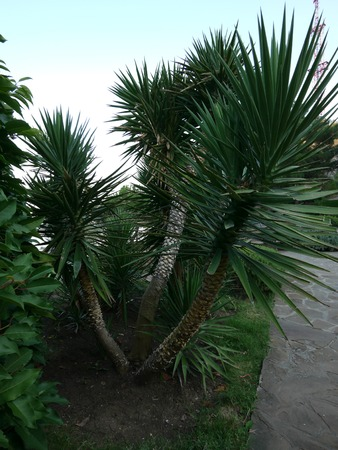 Three trunks of palm trees with huge leafy tops in the background of a walking park lane Banque d'images - 104121616