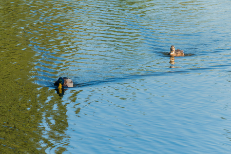 Two ducks floating on the water surface of the reservoir. One as if wants to catch up with another and with all his might lifting his head hurries after her. Reklamní fotografie