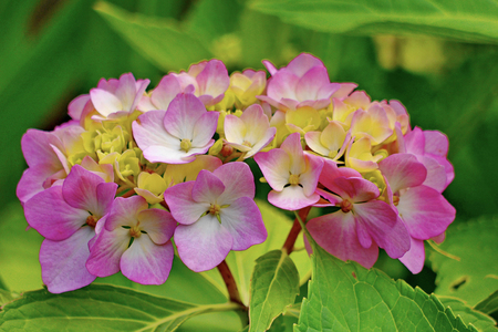 Beautiful small petals of pink flowers with yellow center and beautiful small petals of pink flowers with yellow center and green leaves stock photo 104299680 mightylinksfo