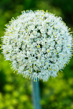 White flower with dense petals forming the shape of a sphere with small yellow points of stamens. It looks very beautiful and unusual. Stock Photo