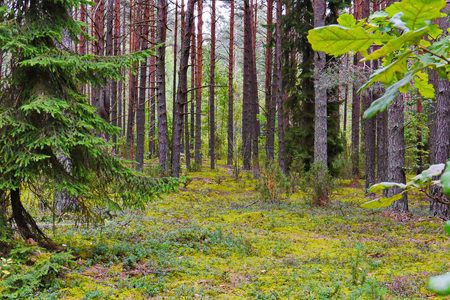 Beautiful nature in a pine forest with a green carpet of moss carpeting the earth between the trees.