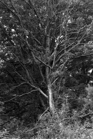 a dry dying tree lost its leaves. Black and white