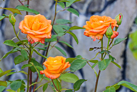 A bush with three blossoming brightly orange roses and buds not yet blooming