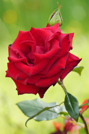 If you are guilty before a loved one and do not know how to make up for your guilt beautiful rose flower as a gift and everything will be in order.