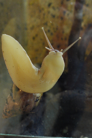 The skin color of a snail who left her house in search of food crawls on the glass, setting up its horns. Stock Photo