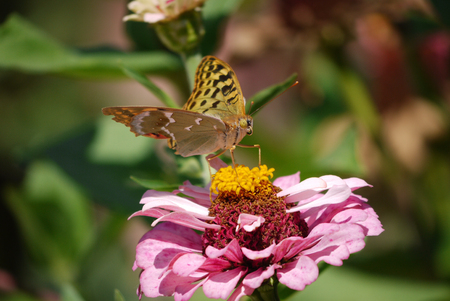 Butterfly pollinates the orange core of a flower with large pink petals