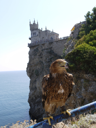 Hawk hunter sits on a metal rail in front of the swallows nest on a rock