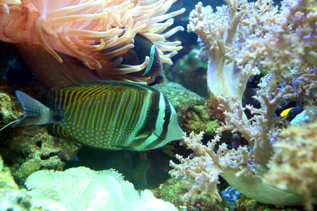 Striped, multi-colored fish was quiet between corals and algae Stock Photo