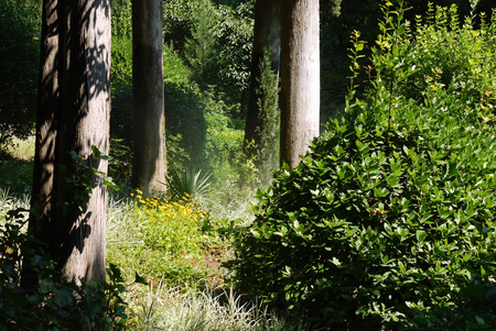 Green thickets of bushes and yellow flowers in the forest among the tall trees with smooth smooth trunks under the rays of the bright sun. Stock Photo