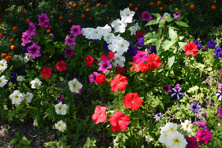 A beautiful decorative flower bed with an orgy of multicolored small flowers 写真素材