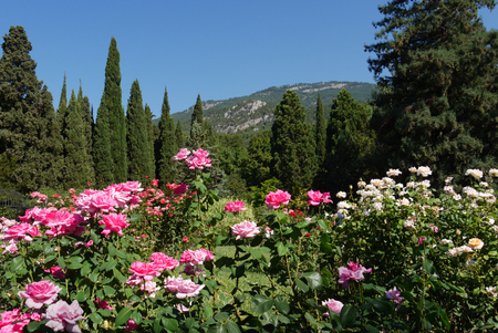 roses of white and pink colors against the background of firs and cypresses on a cloudless day