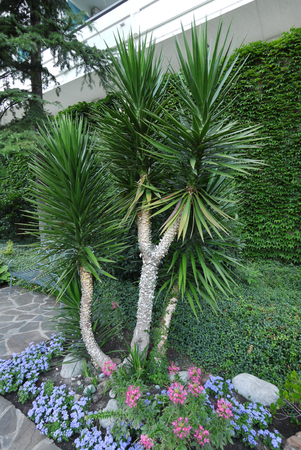 A large green yucca on a flower bed with colorful flowers and ornamentally carved bushes