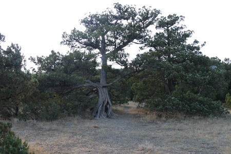 split old pine on dry soil without grass