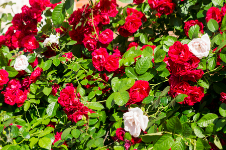 Red rose bushes with green leaves, a perfect gift for a woman for any occasion. Luxury view on a summer day .For your design