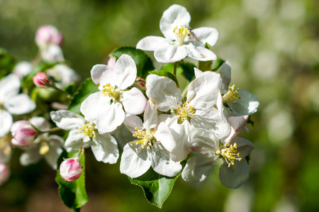 Apple trees flowers. the seed-bearing part of a plant, consisting of reproductive organs that are typically surrounded by a brightly colored corolla . For your design