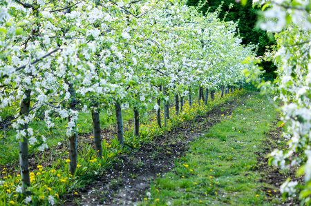 garden of planted apple trees on a beautiful day. Good harvest. For your design