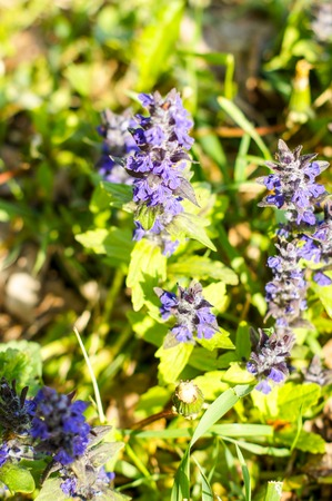 Blue flowers growing on a green lawn carpet, Ajuga reptans .For your design Imagens