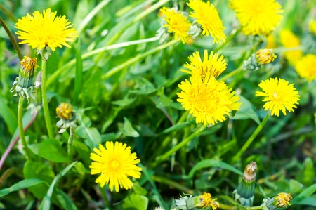 beautiful dandelion flower on a bright, sunny day in the outdoors .For your design Imagens