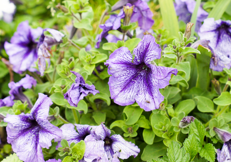 Purple petunia flowers in a beautiful design on a bright sunny day .For your design