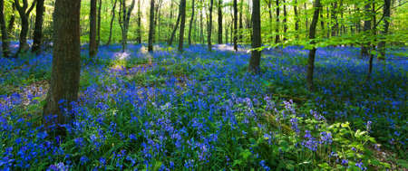 A panoramic view of a bluebell wood at the height of its bloom, with a carpet of bluebells and lush baby green leaves on the trees. Photo taken in Cowleaze wood, Oxfordshire.