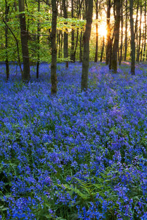 A carpet of bluebells at the height of their bloom at Cowleaze wood, Oxfordshire, with the spring sun setting in the background. Standard-Bild