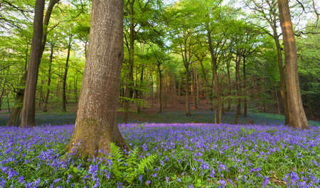 A carpet of bluebells at the height of their bloom in a clearing in a wood at sunset.